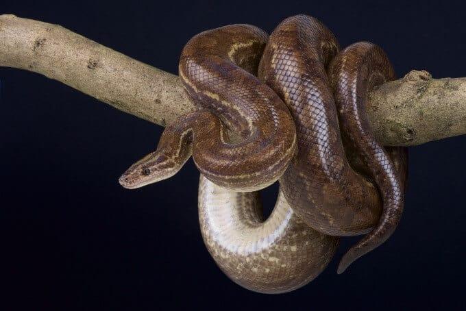 A Colombian rainbow boa pet snake
