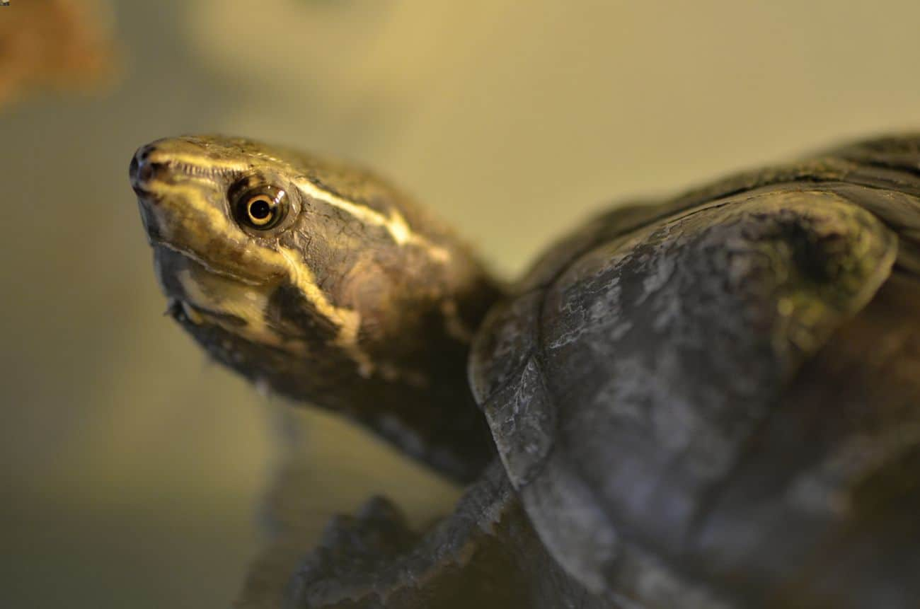 Common musk turtle in the water