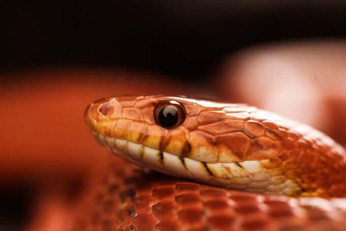 A beginner-friendly pet corn snake