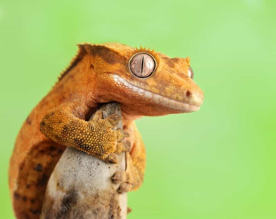 A crested gecko holding a branch
