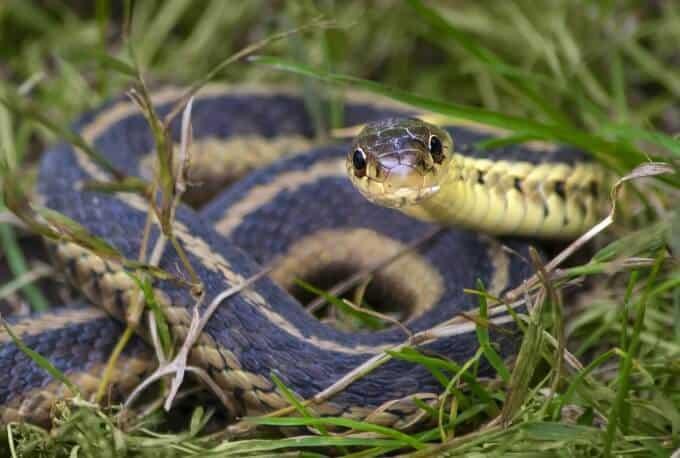A curious garter snake close up