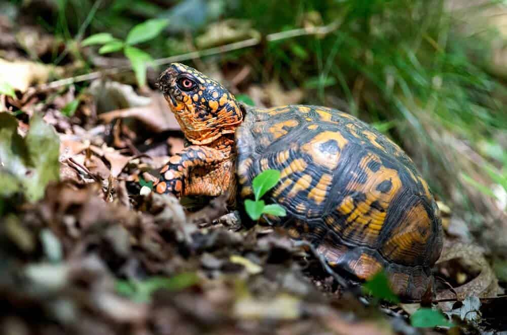 A climbing eastern box turtle
