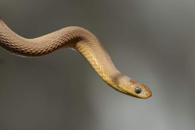 A pet egg-eating snake