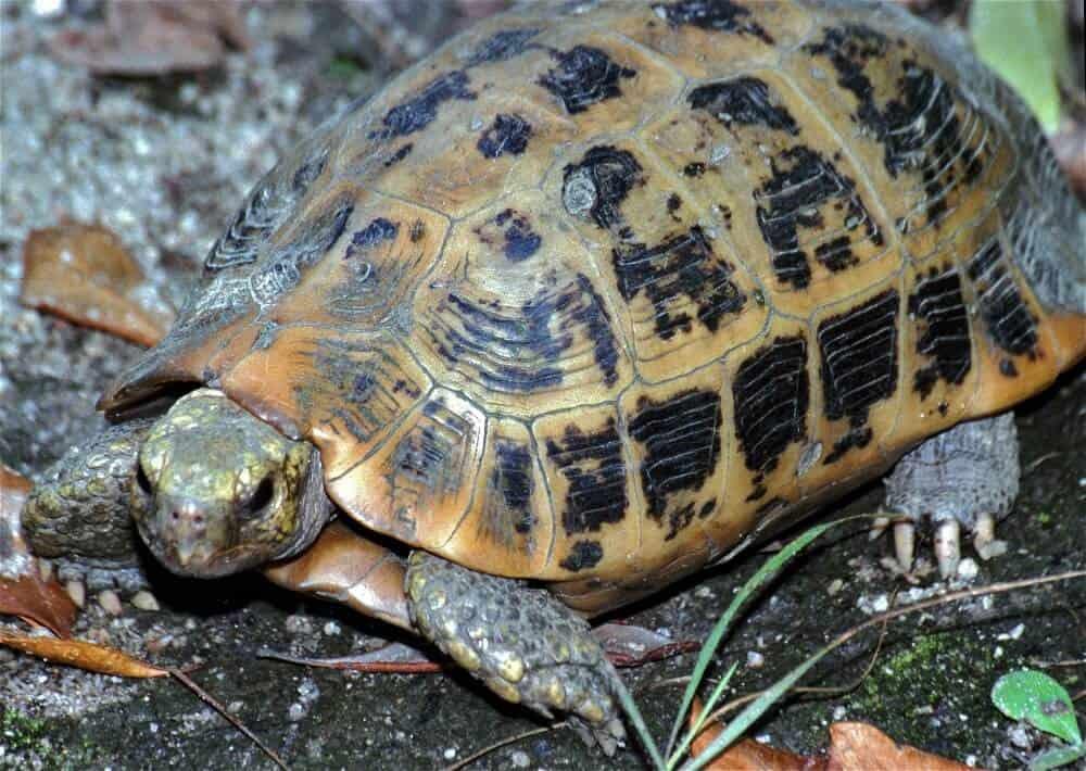 An elongated tortoise inside an enclosure