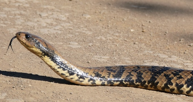 False water cobra basking outside