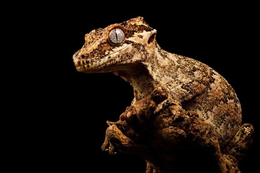 A pet gargoyle gecko at night
