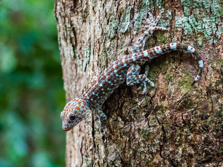 Gekko gecko climbing on a tree