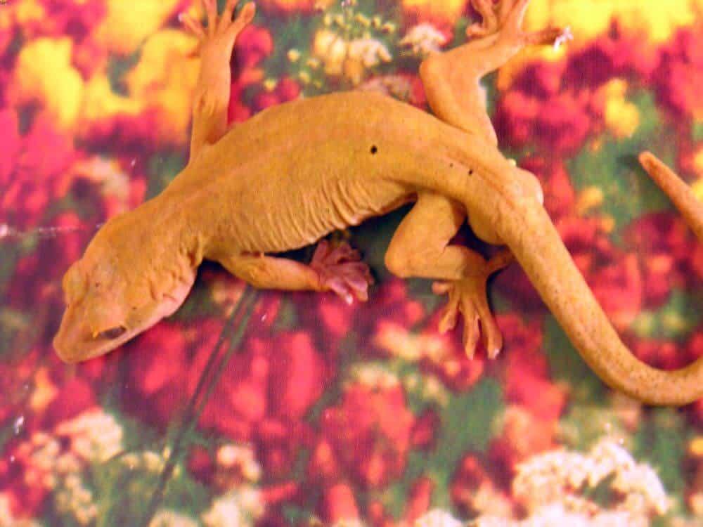Pet gekko ulikovskii climbing inside
