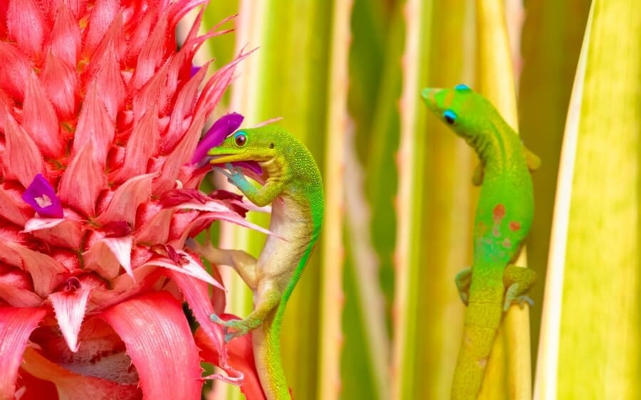 Two gold dust day geckos climbing on flowers