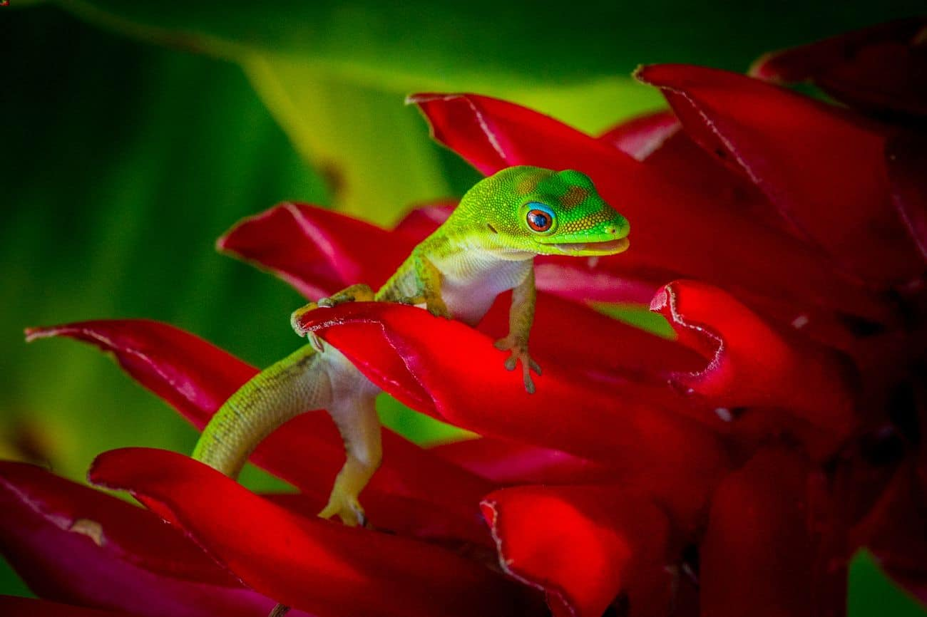Gold dust day gecko looking for food on a plant