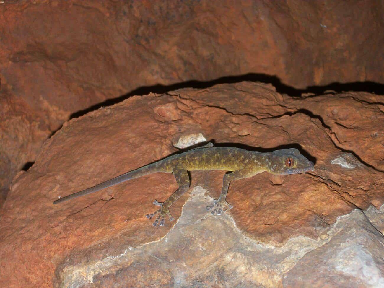 Golden gecko in its natural habitat