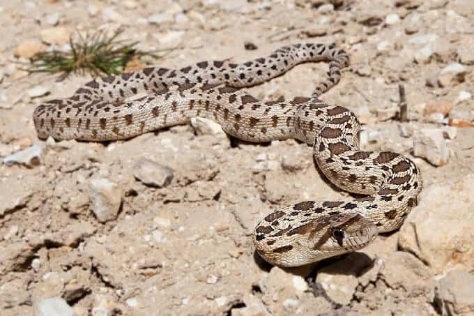 A gopher snake outside on top of rocks