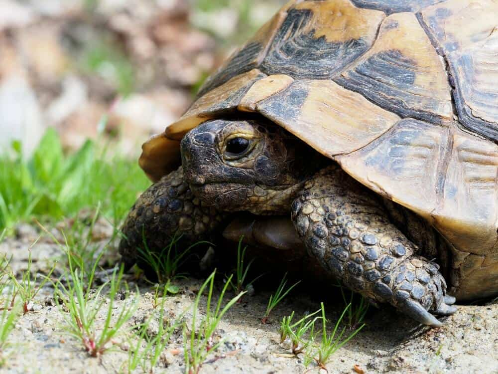 A pet Greek tortoise hiding