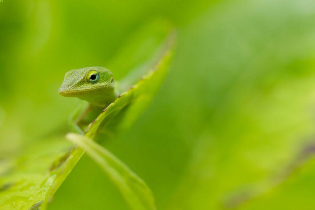 A green anole peeking around a leaf