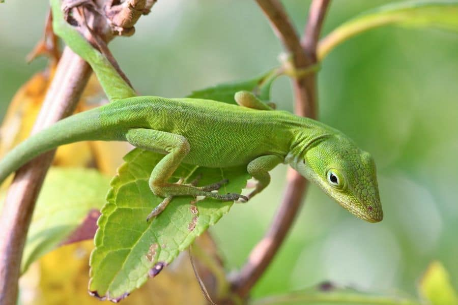 One green anole climbing on branches and leaves