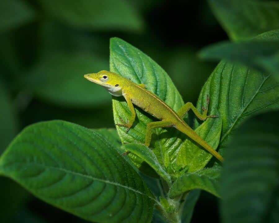 A pet green anole climbing on a plant