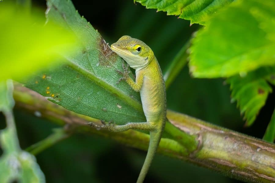 A green anole searching for food