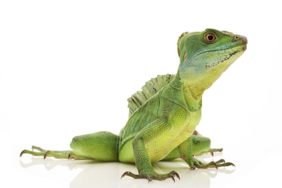 A lizard breed known as the green basilisk