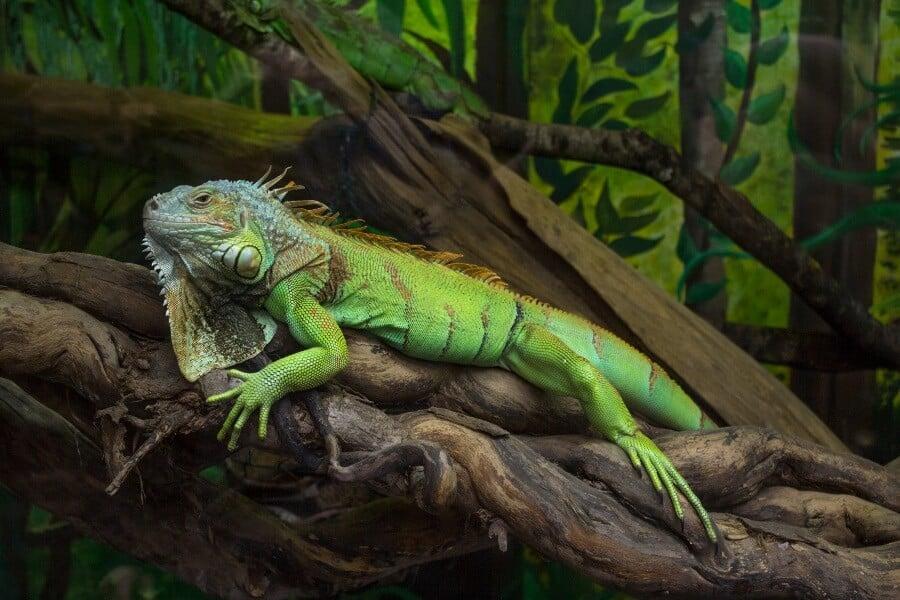 A pet green iguana basking inside an enclosure
