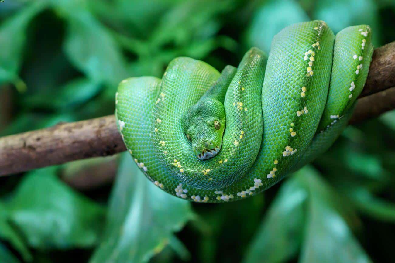A green tree python pet snake on a branch