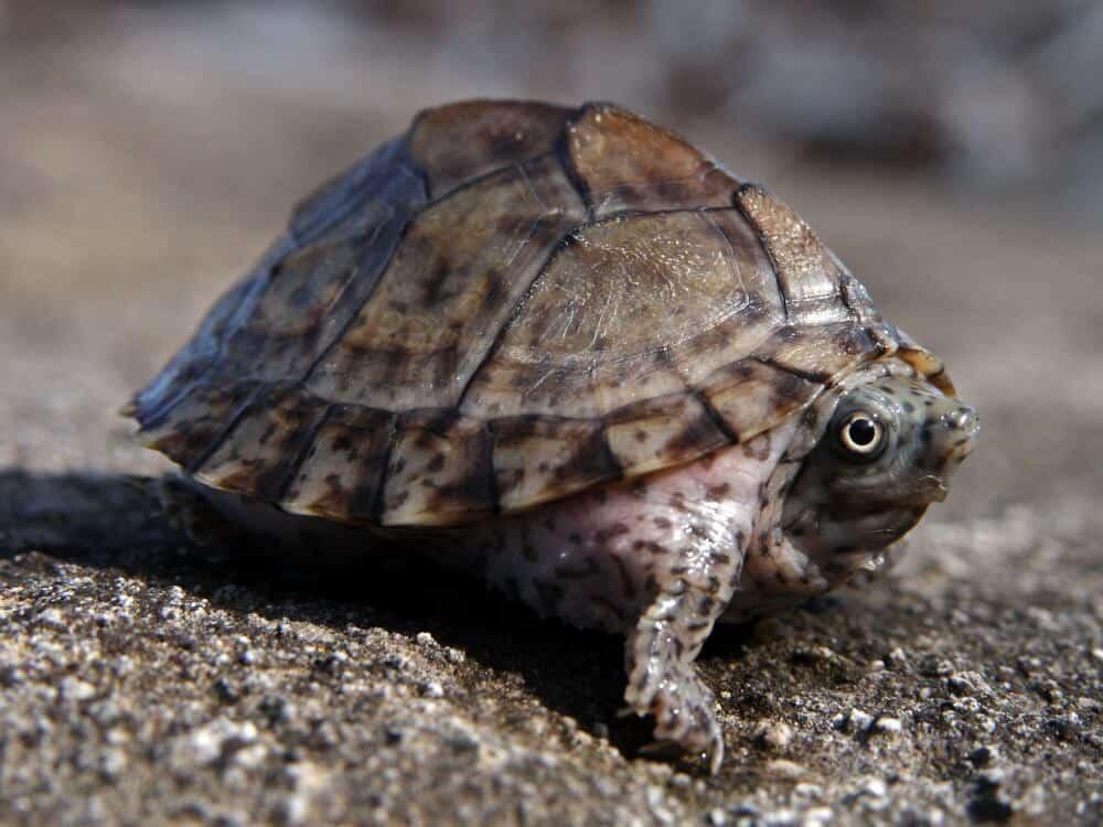 A hatchling razorback musk turtle