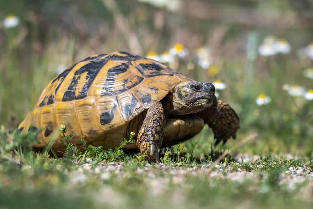 A type of pet tortoise called the Hermann's tortoise