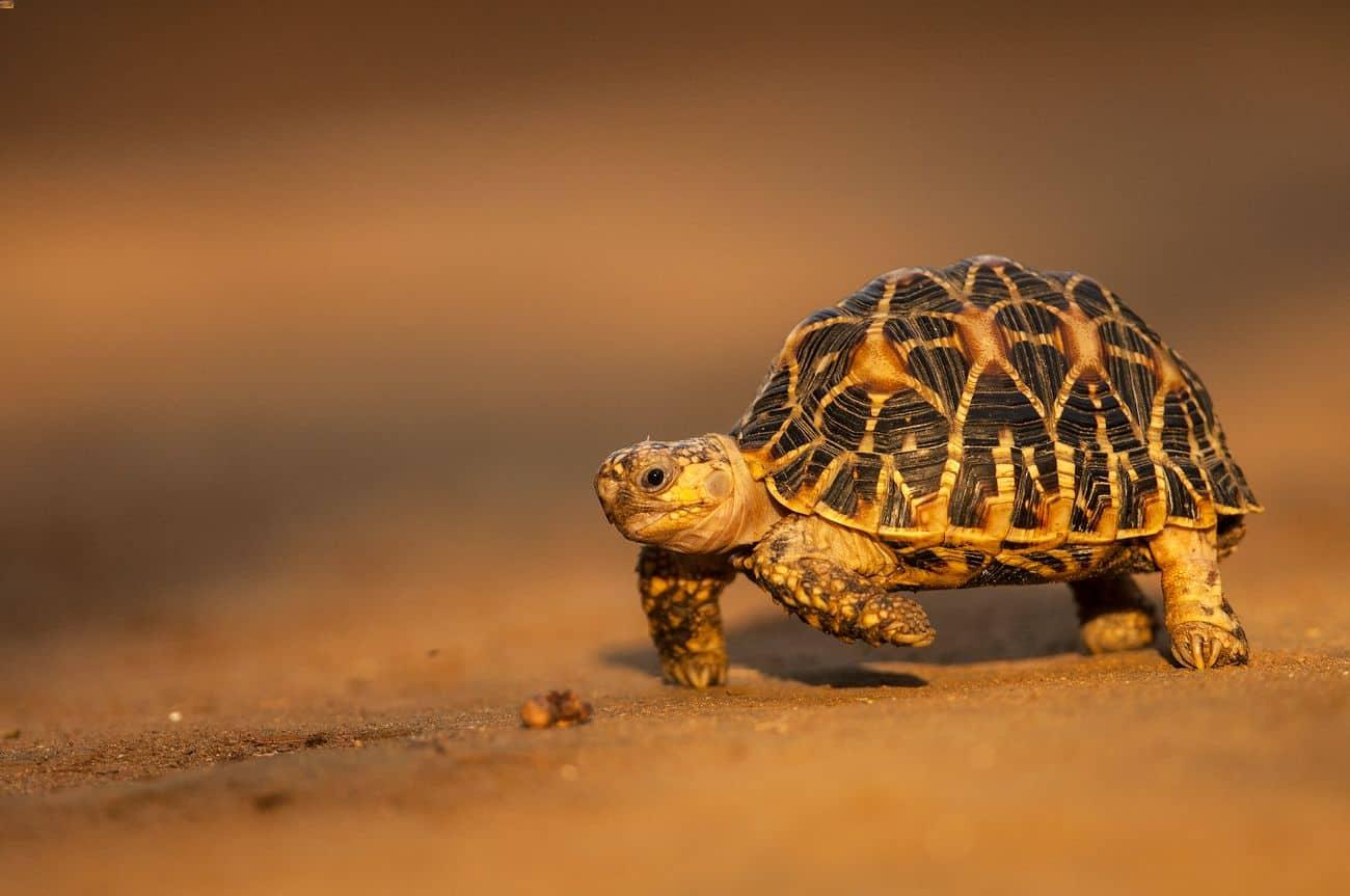 An Indian star tortoise walking