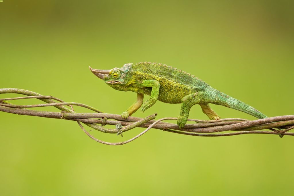 A male Jackson's chameleon climbing while eating