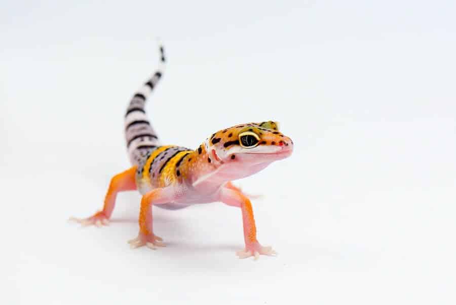 A popular type of lizard called the leopard gecko