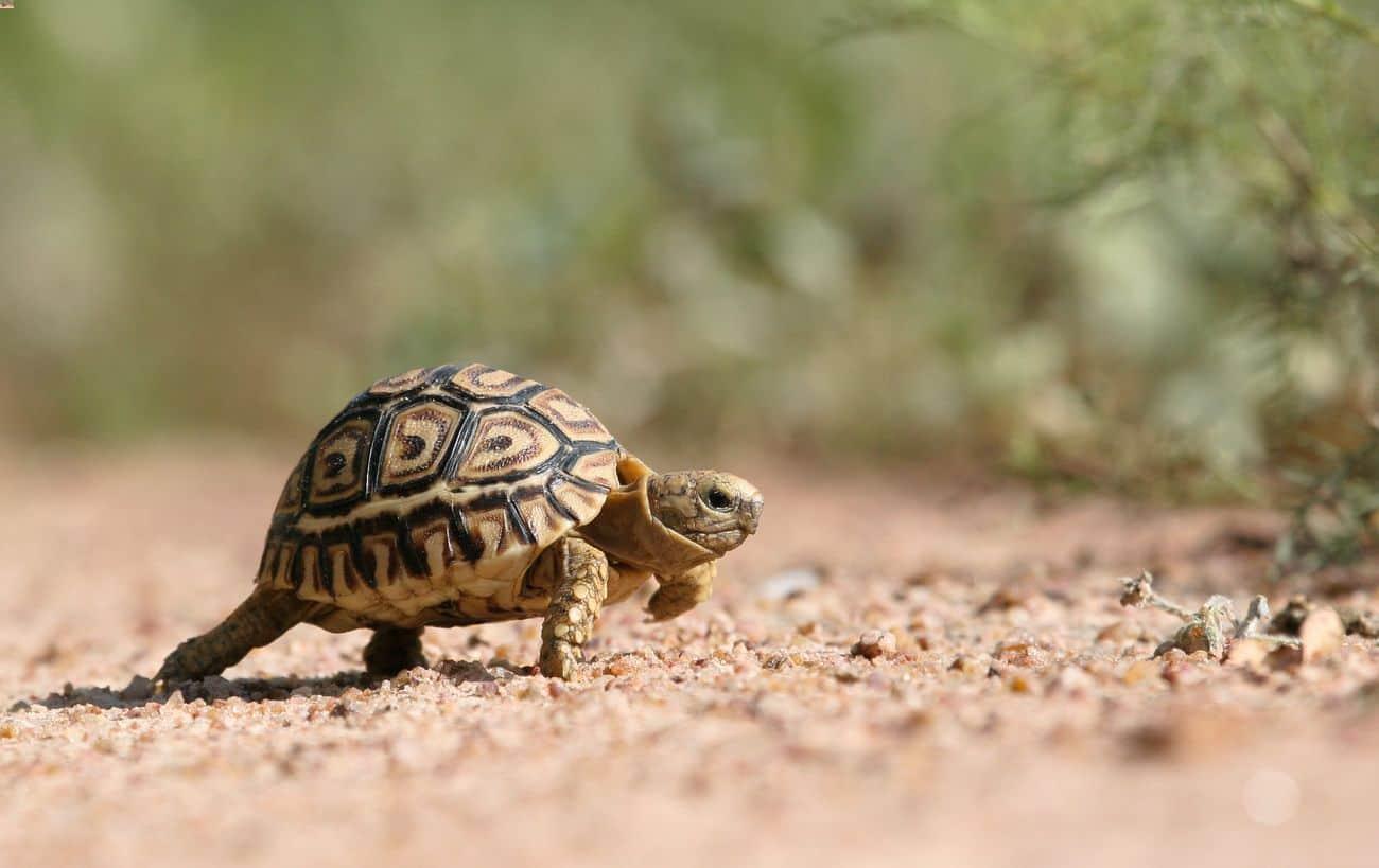 A leopard tortoise walking toward a hiding spot