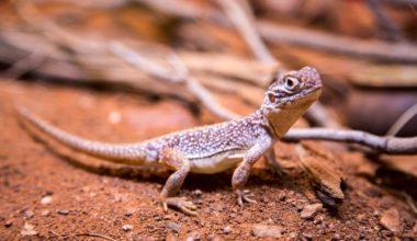 A pet lizard with a good name