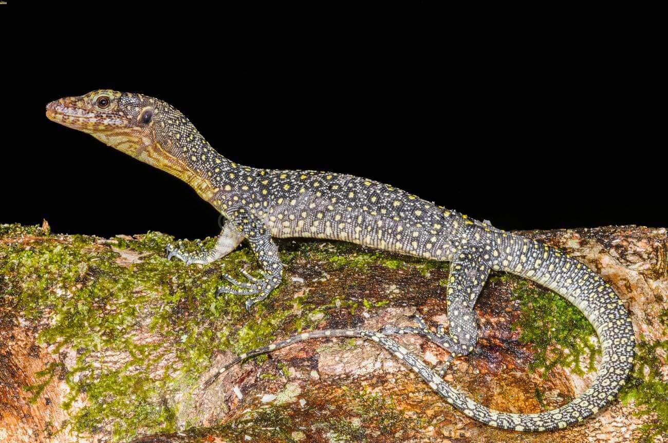 A mangrove monitor walking on a tree branch