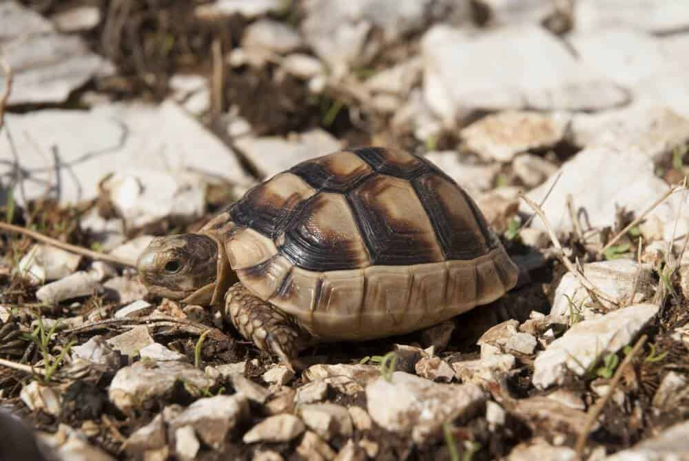 A species called the marginated tortoise