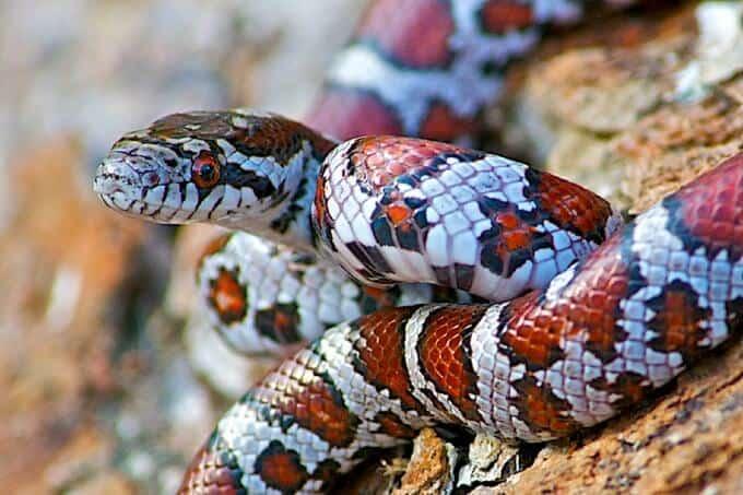 Pet milk snake in outdoor enclosure