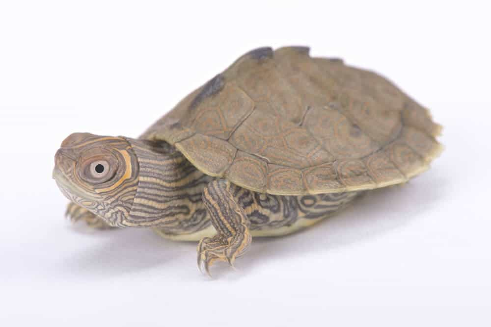 A pet Mississippi map turtle