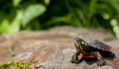 The popular painted turtle species