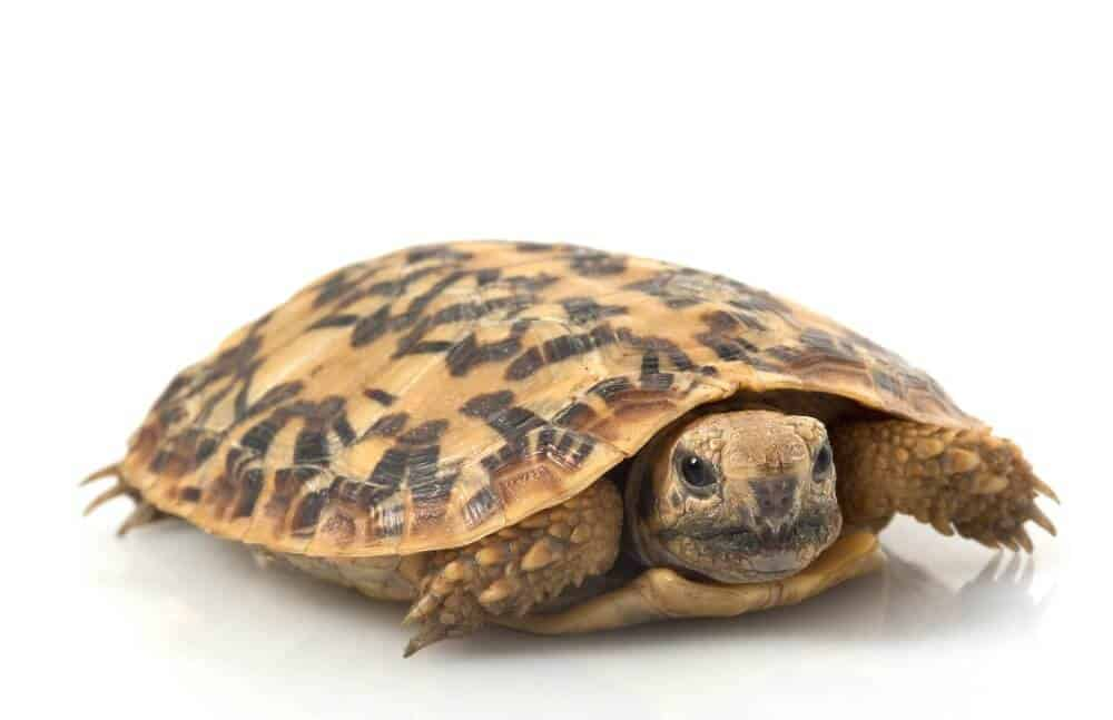 A type of turtle called the pancake