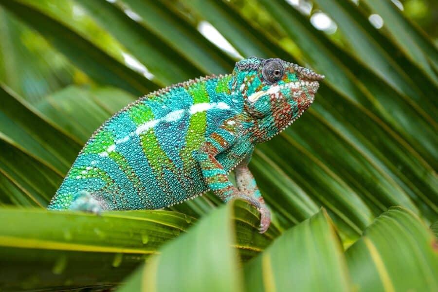 A panther chameleon being a good pet lizard