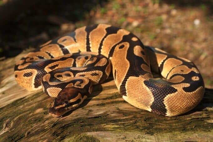 A popular beginner pet snake called the ball python