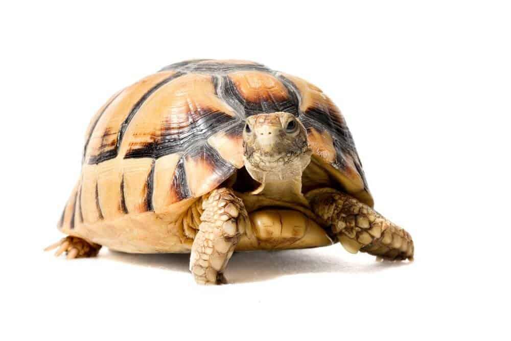 A pet Egyptian tortoise