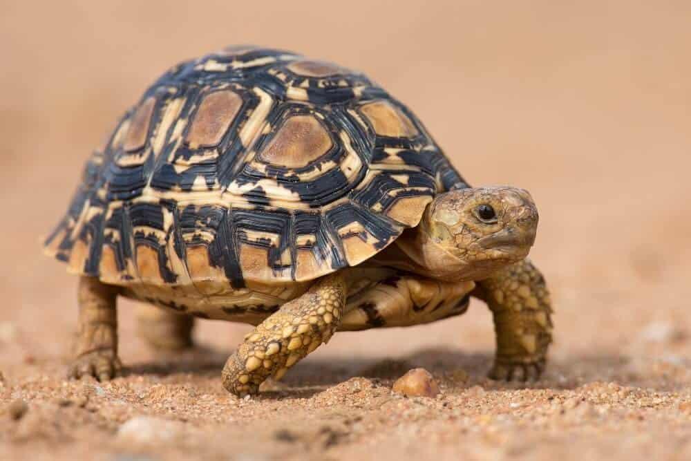 A pet leopard tortoise walking on sand