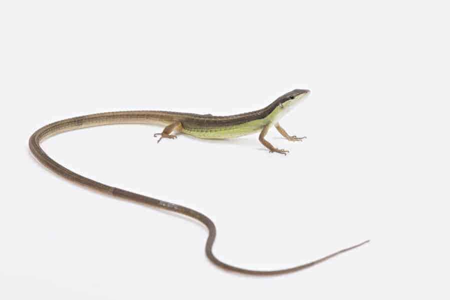 A pet long-tailed lizard looking for food