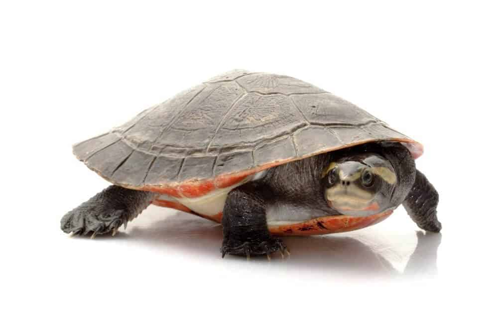A pet pink-bellied side-neck turtle