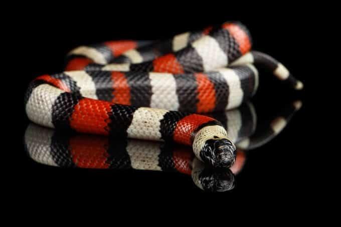 Pet Pueblan milk snake