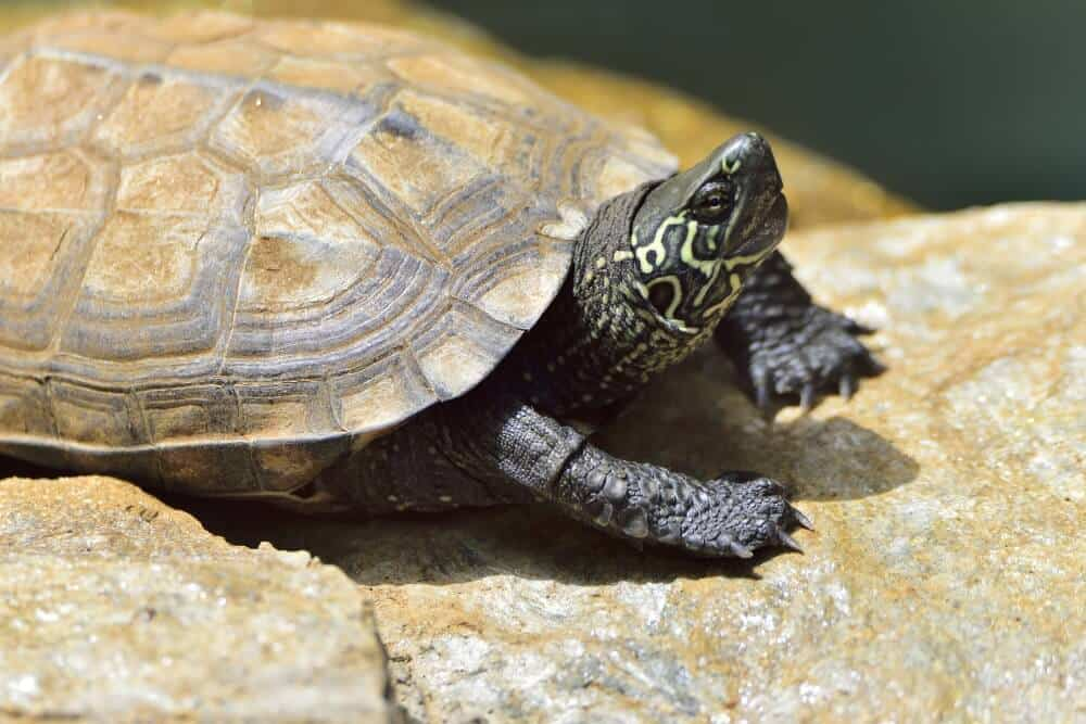 A pet Reeve's turtle basking in an enclosure