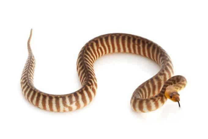 A pet snake woma python