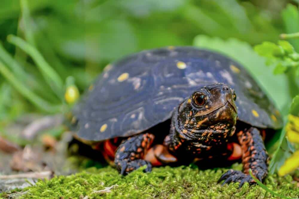 One pet spotted turtle standing on grass