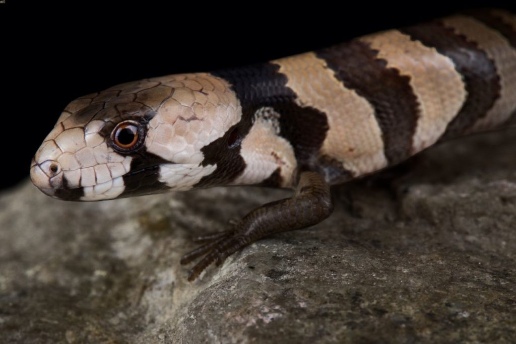 Pink-tongued skink walking on a rock