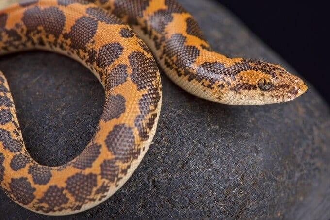 A popular snake species named the Kenyan sand boa