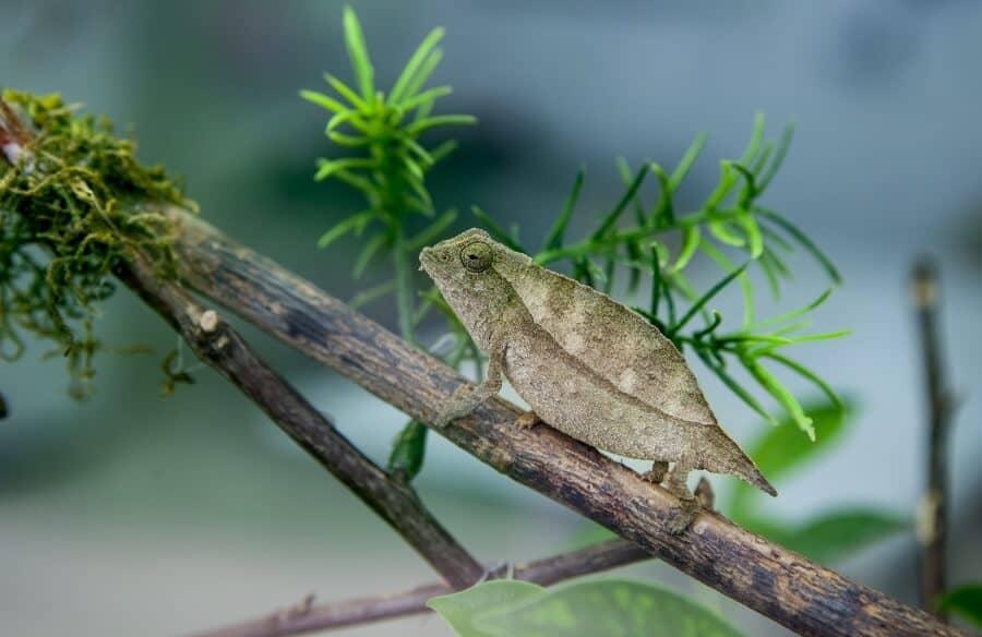 Pygmy chameleon climbing inside a home enclosure